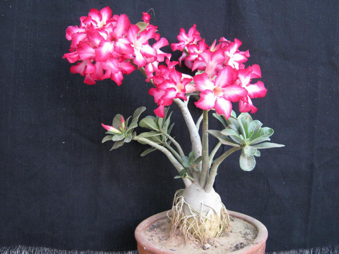Bonsai Adenium Plant Adenium AdeniumPlant Bonsai Plant