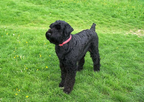 About Dog Black Russian Terrier: Basics of Black Russian ...