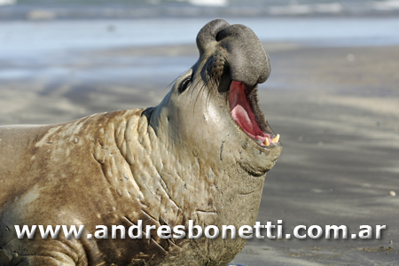 Elefantes Marinos - Southern Elephant Seal - Península Valdés - Patagonia - Andrés Bonetti