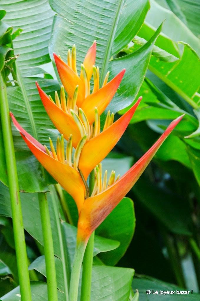 Guadeloupe  - Deshaies - jardin botanique - balisier