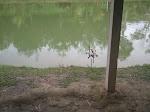 kolam rohu kg Tas