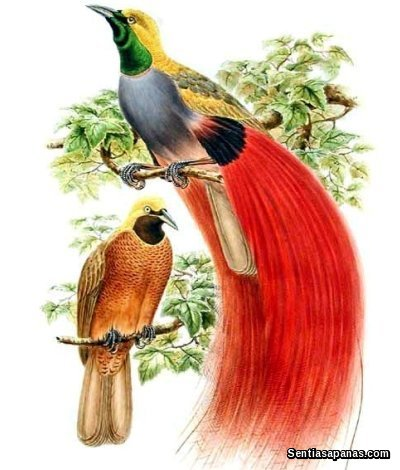 Burung Cenderawasih [2]