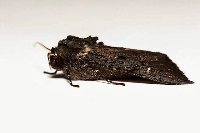 Black Rustic - Side view - Photographed in Milton Keynes