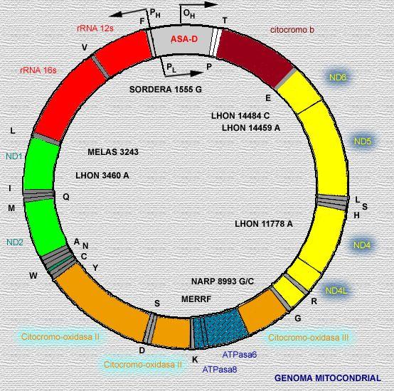 Resultado de imagen de Estudiando el A D N mitocondrial