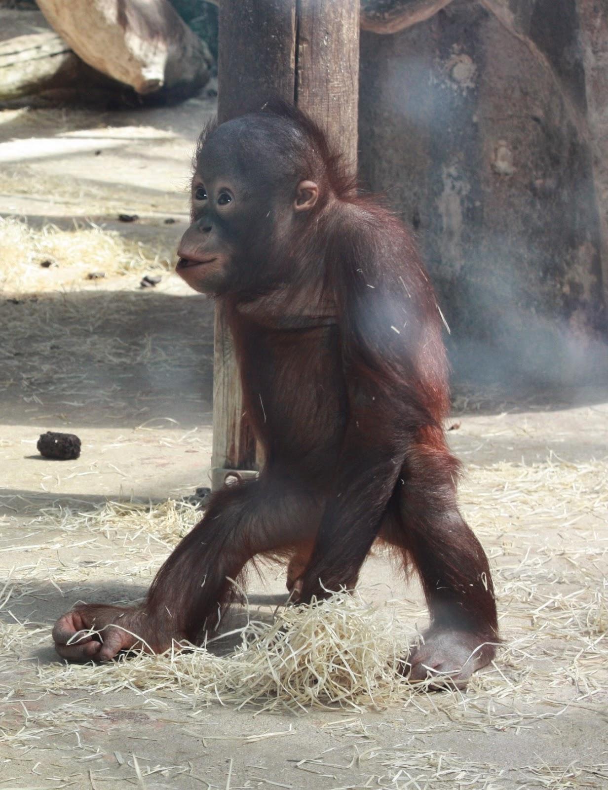 bébé orang-outan beauval