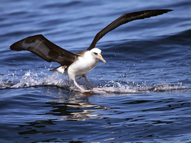 Laysan Albatross Oregon Pelagic Tours