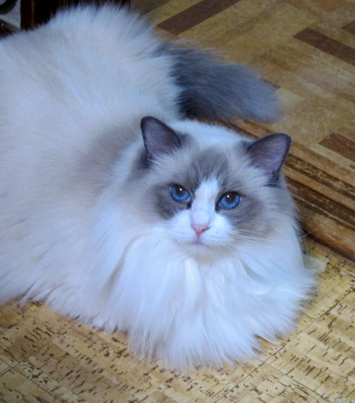 Ragdoll Cattery Fuzzjp