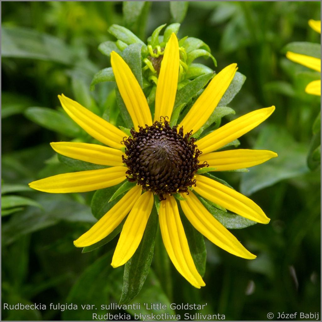 Rudbeckia fulgida var. sullivantii 'Little Goldstar' - Rudbekia błyskotliwa Sullivanta 'Little Goldstar'