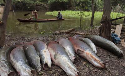 Foto-Foto Para Pemburu Monster Raksasa Amazon
