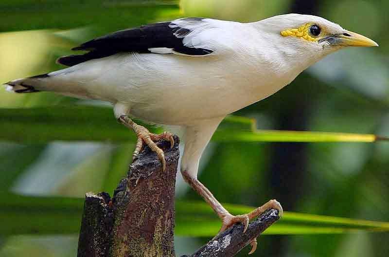 Gambar Cara Merawat Burung Jalak Putih