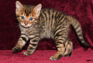 Toyger Cat Pictures
