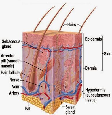 struktur kulit, perawatan kulit