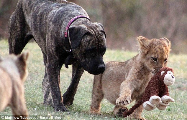 Dog as the mother of a 12 lion cub