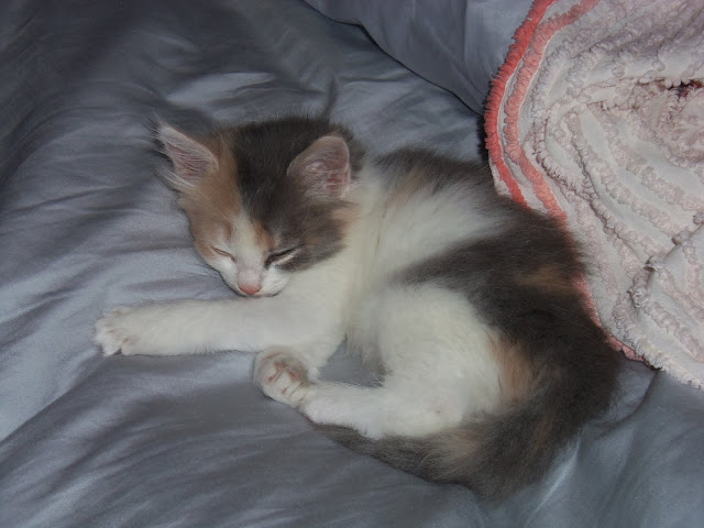 kitten, dilute calico, long hair, sleeping