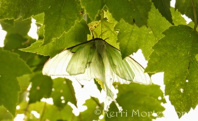 http://kerri-mortenson.artistwebsites.com/featured/luna-moth-kerri-mortenson.html