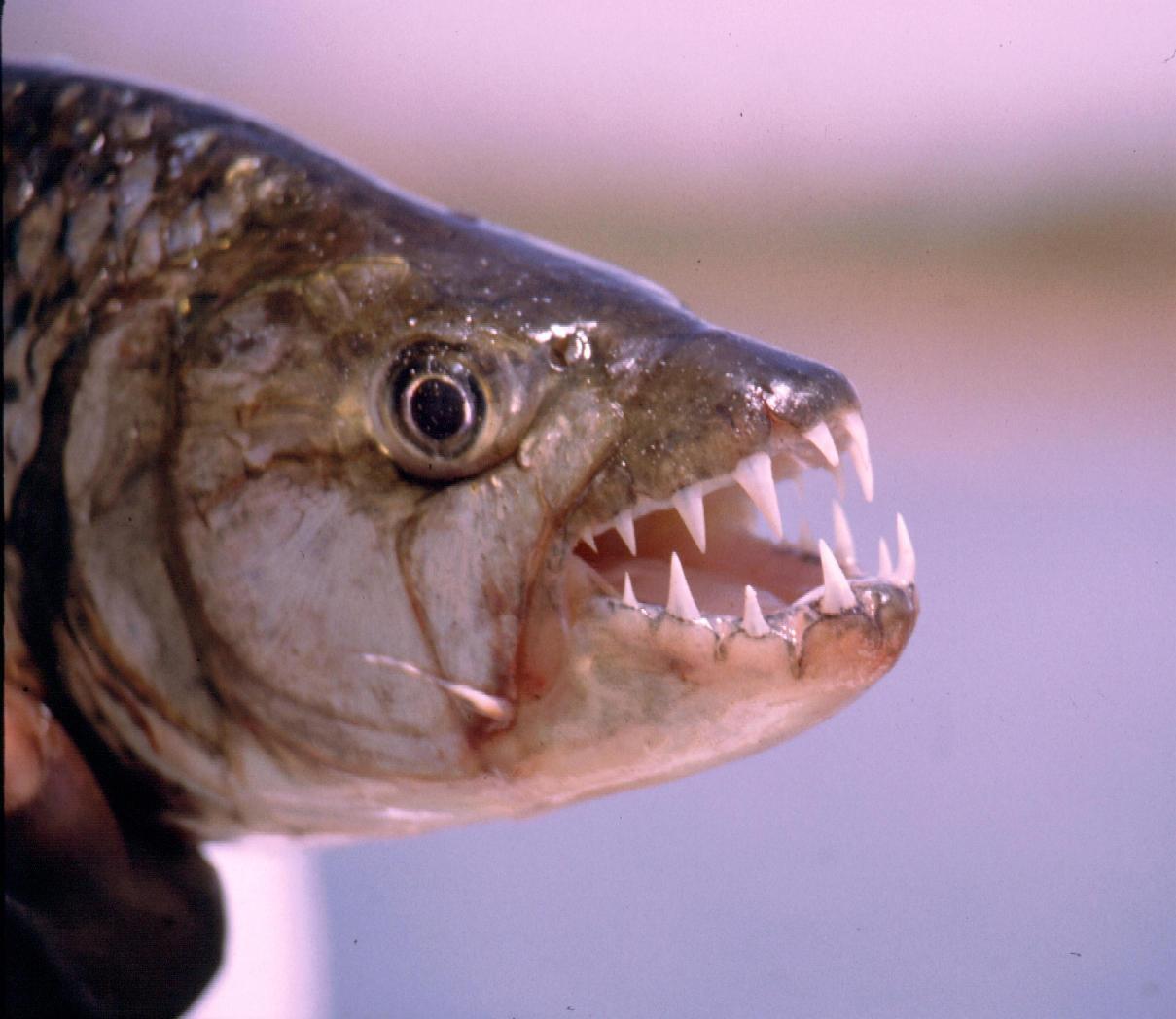 Pesca intorno al mondo predatori d 39 altri continenti for Pesci di fiume