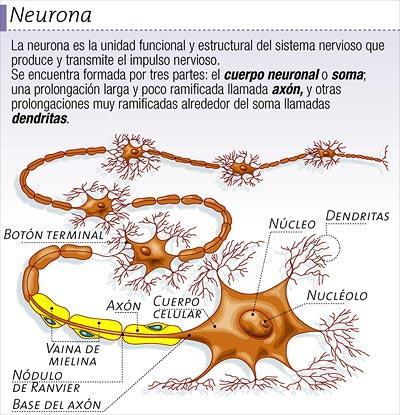 Dibujo de la neurona del cuerpo humano indicando partes