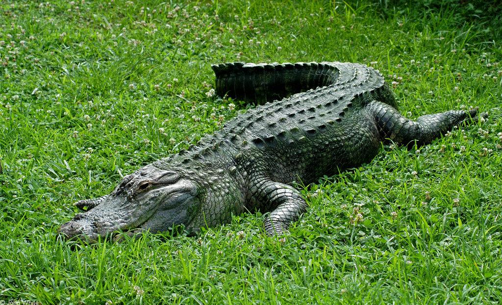 American Alligator Attacks American Alligator