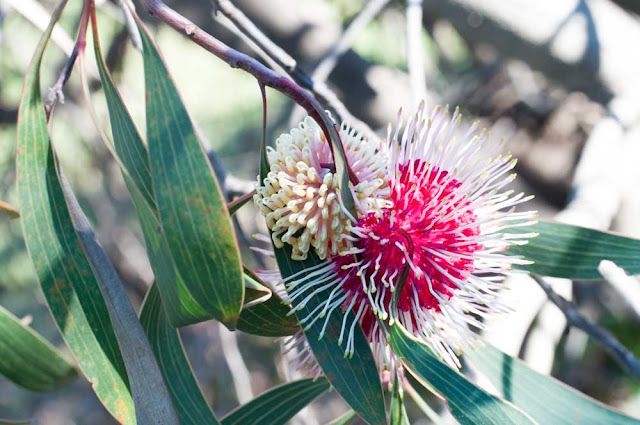Photo of a pincushion hakea flower