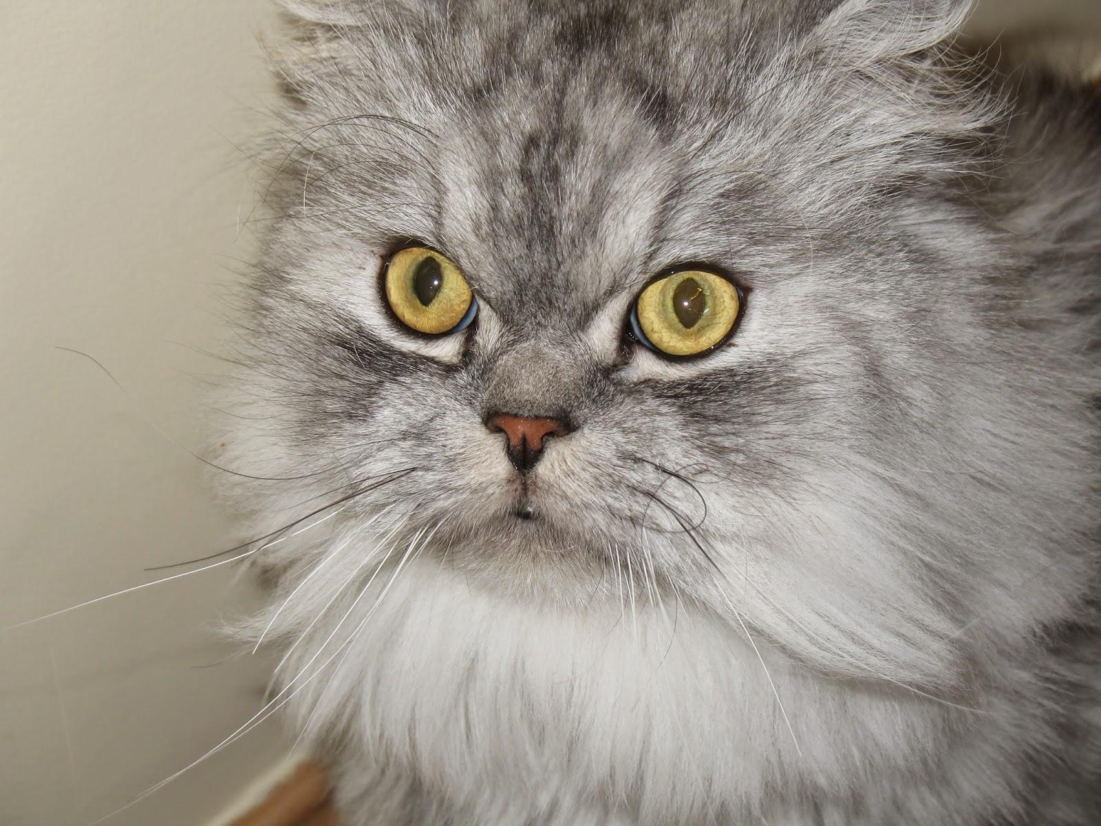 Ziro, nuestro gato persa