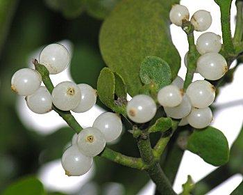 Oklahoma State Flower Mistletoe