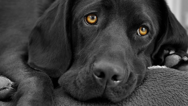 Black Labrador Dog HD Wallpaper