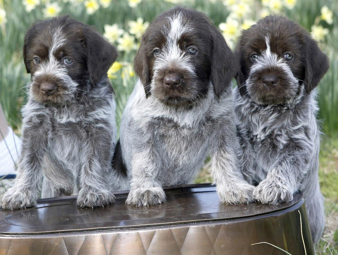 Wirehaired pointing griffon top dogs breeds