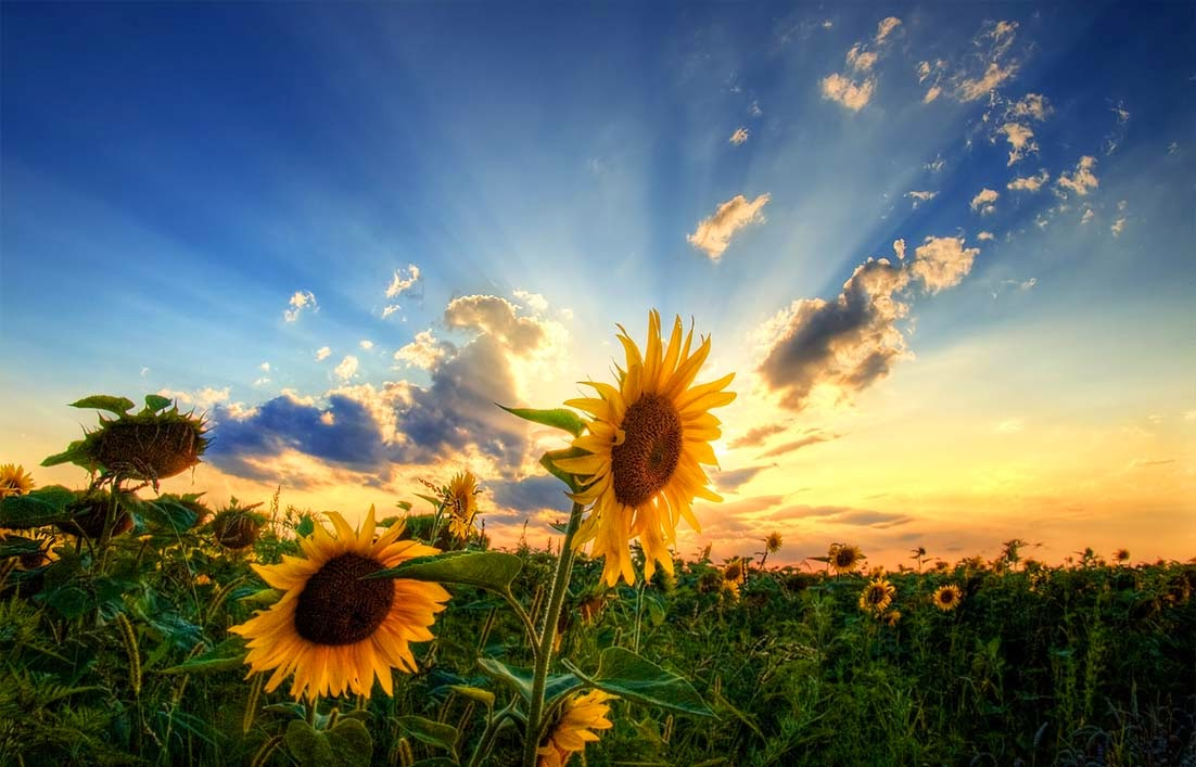 Klasifikasi dan Ciri Ciri Bunga Matahari [+Gambar]