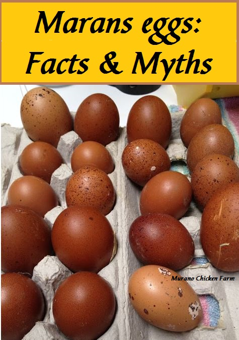 Similiar Color Black Copper Marans Chickens Eggs Keywords