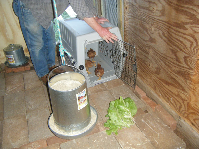 Windy acres diary chickens have new home for Job lot dog crate