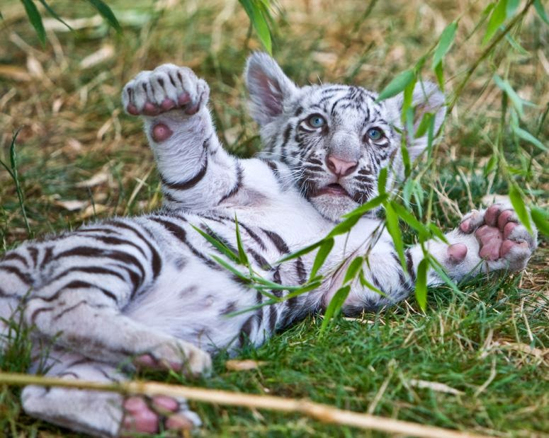 Zoo looking for Names for Three Month Bengal Tiger Triplets