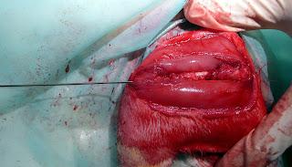 agujas intramedulares en huesos de conejo