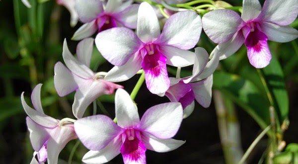 Orchid Planetorium Khasiat Bunga Anggrek