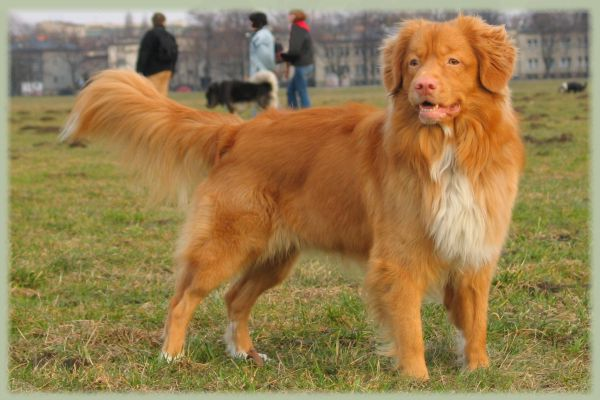Nova Scotia Duck Tolling Retriever Info, Puppies, Mix, Pictures