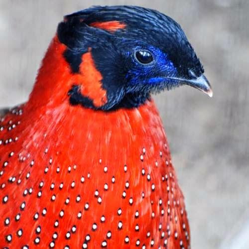 Indian bird - Satyr tragopan - T. satyra
