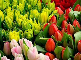 Tulipanes en capullos de colores