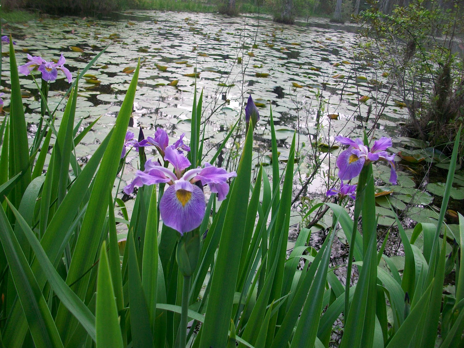 cypress gardens the gardeners blog early iris bloom. Black Bedroom Furniture Sets. Home Design Ideas