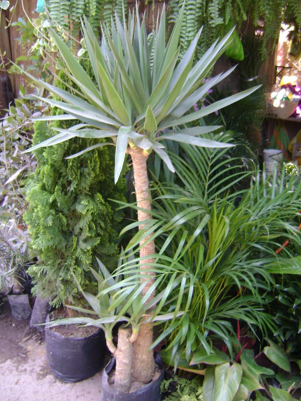 Jardines y macetas fotos de plantas de interior y exterior for Planta yuca exterior