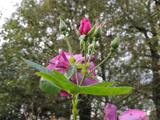 rose remontante