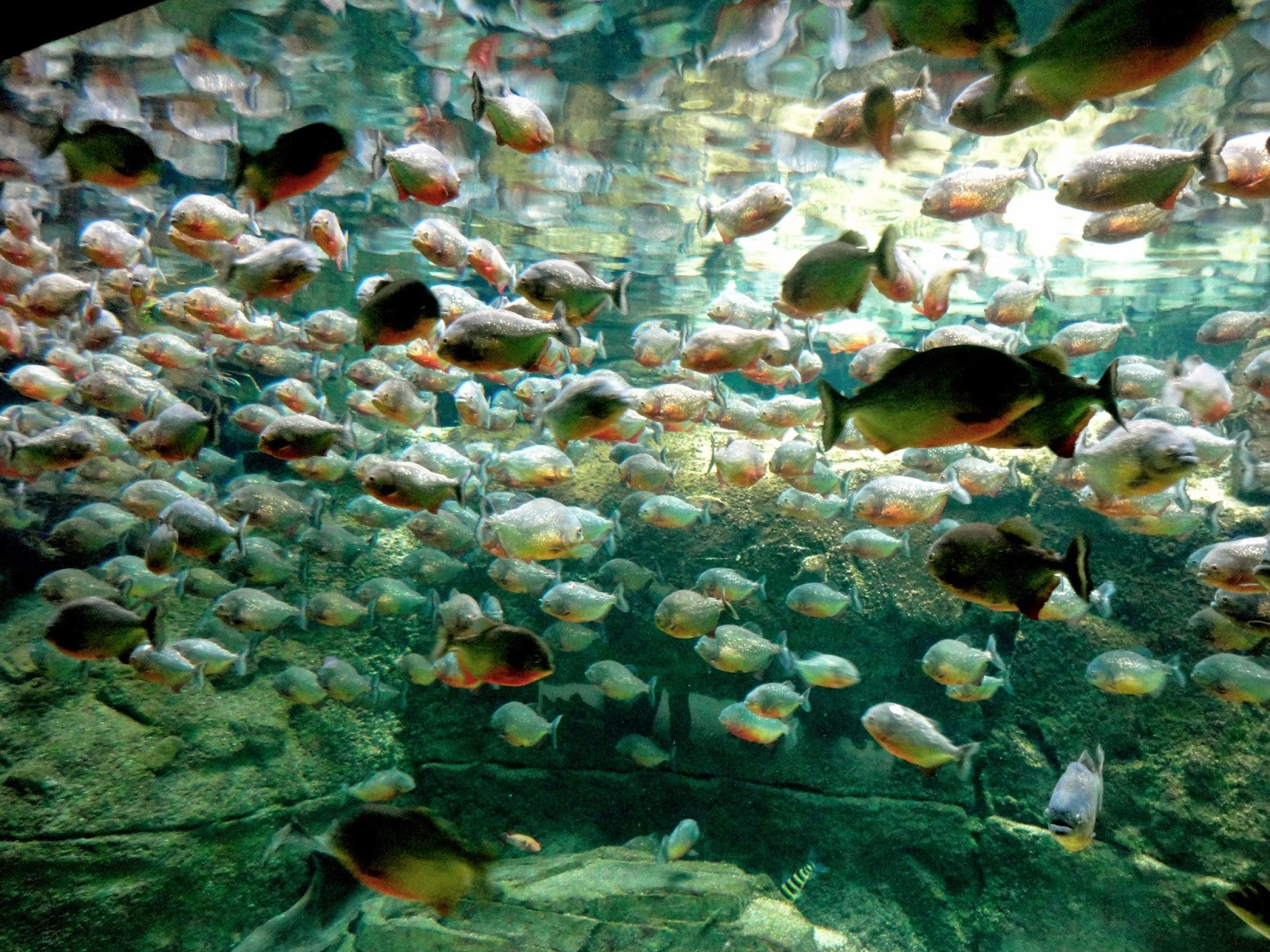Piranha tank in Copenhagen aquarium
