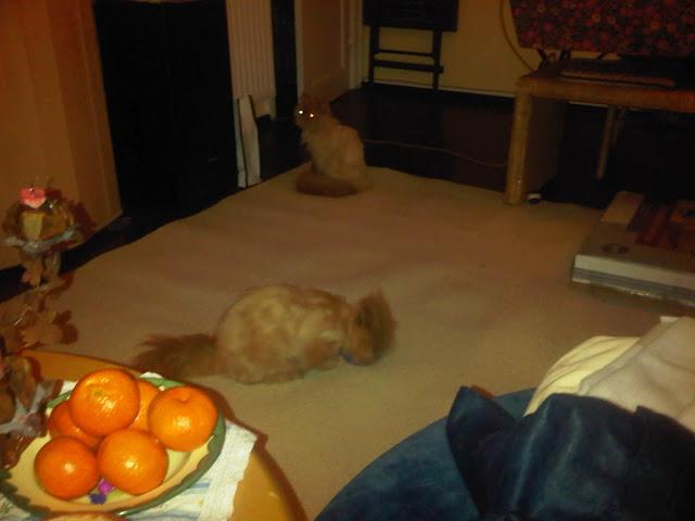 Martha - Die gemeine Perserkatze und Hobbit schauen sich imneuen Heim um