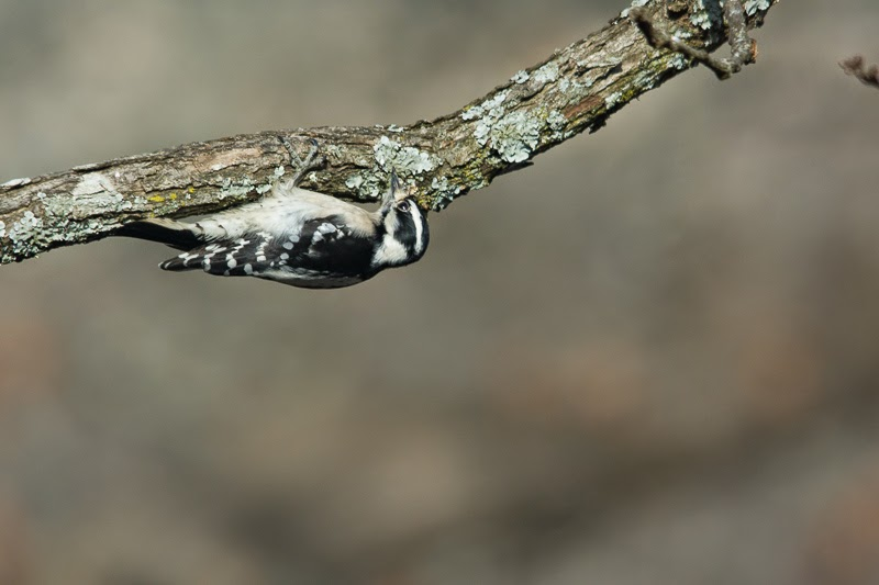 Downy woodpecker shot with Nikon D7100