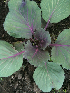 Cabbages in a cottage garden