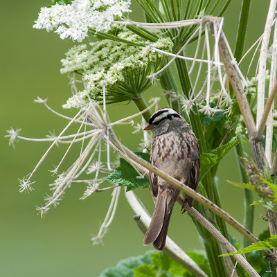 White-crowned Sparrow on Loveroot, Snodgrass Mountain