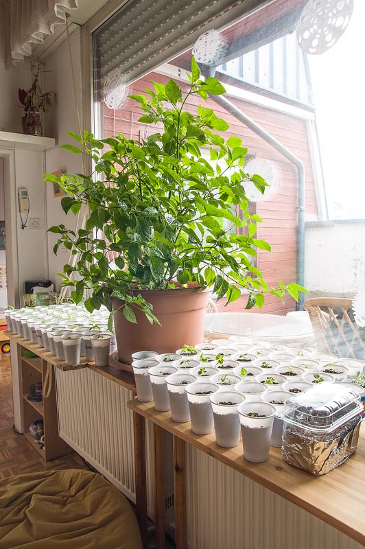 Chocolate habanero chili and new plants