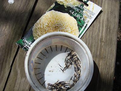 Высеваем календулу и бархатцы семенами