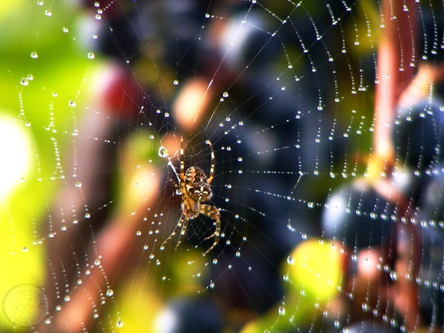 Nić Arachne