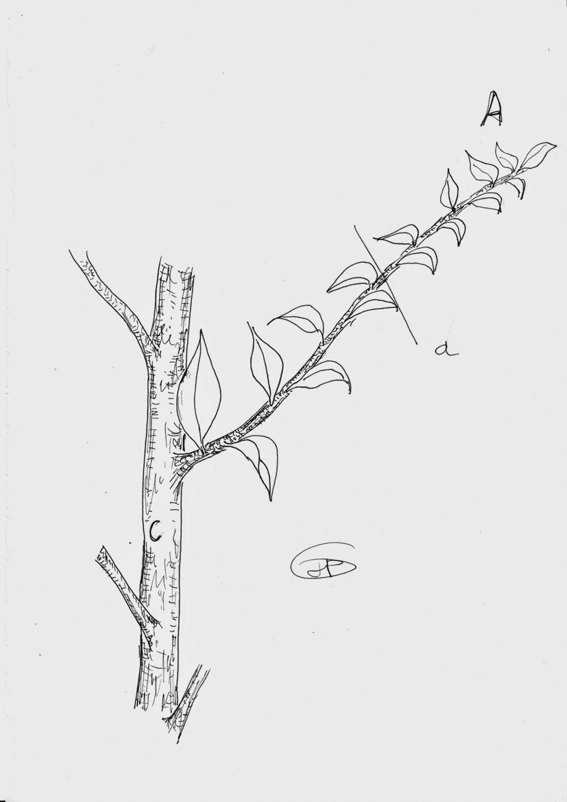 les secrets de la taille et de la greffe des arbres fruitiers bio tableau r capitulatif. Black Bedroom Furniture Sets. Home Design Ideas