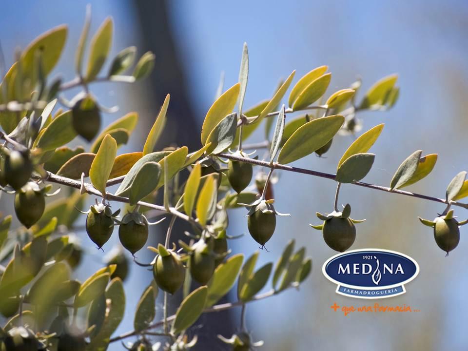 El arbusto de la Jojoba es una planta nativa del desierto de Sonora al  noroeste de México y las regiones vecinas 3f5feeb4445e