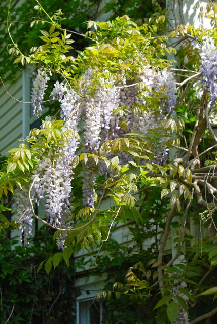 Back outside, I snatch a photo of the Chinese wisteria (Wisteria sinensis) blooming on the porch of the house.